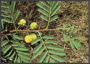 Acacia Nilotica Benefits Uses Of Acacia Always Ayurveda