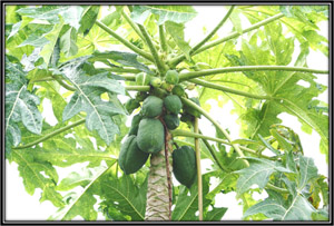 Carica Papaya | Benefits & Uses of Papaya | Always Ayurveda
