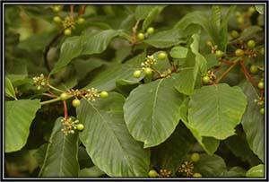 Rhamnus Purshiana