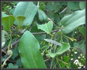 Aristolochia Indica