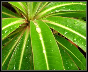 Euphorbia Him