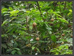 Hydnocarpus laurifolia
