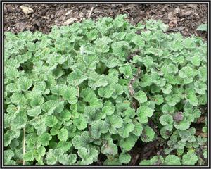Marrubium Vulgare