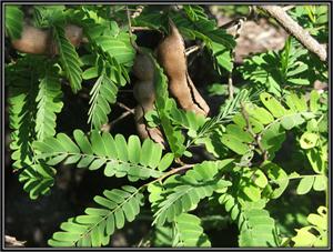 Tamarindus Indica
